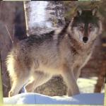 Canvas_Print_Wolf